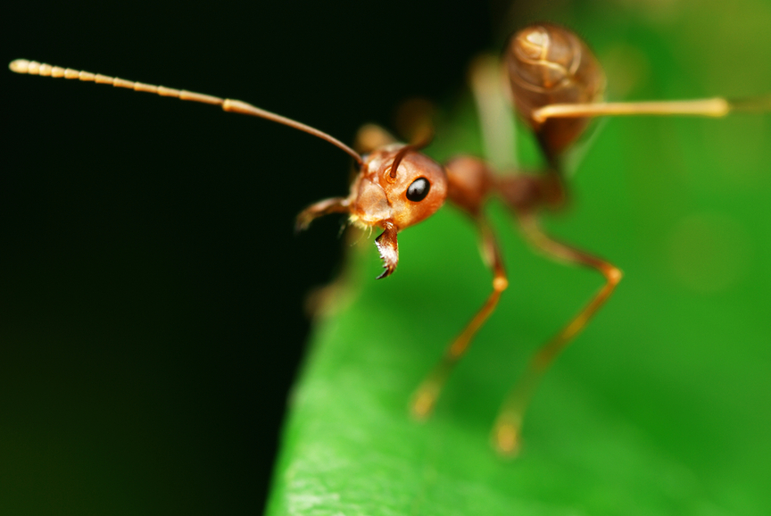 pest control fire ants