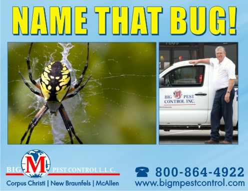 The Yellow Garden Spider Big M Pest Control Corpus