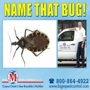 Triatominae Kissing Bug Of Texas Big M Pest Control